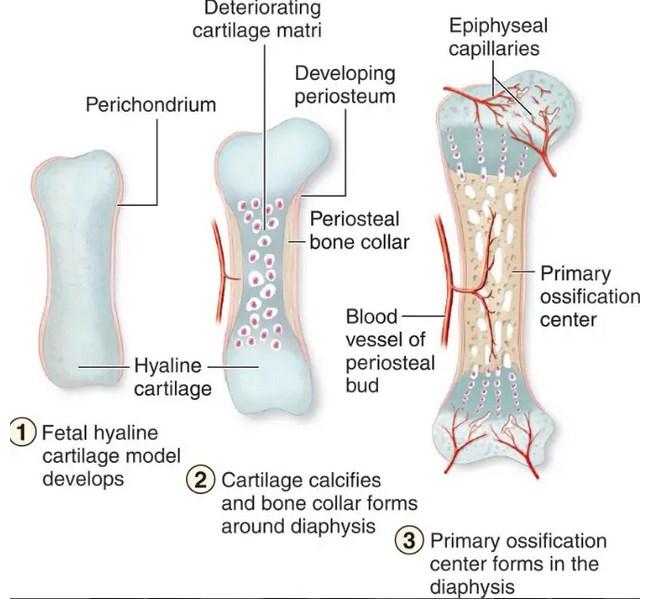 Mengenal-Proses-Pembentukan-Tulang-Manusia