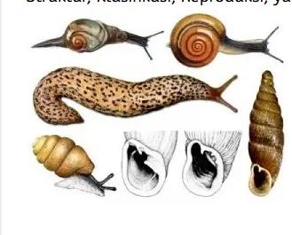 Mollusca-Pengertian-Peran-Contoh-Cara-Hidup-Sistem